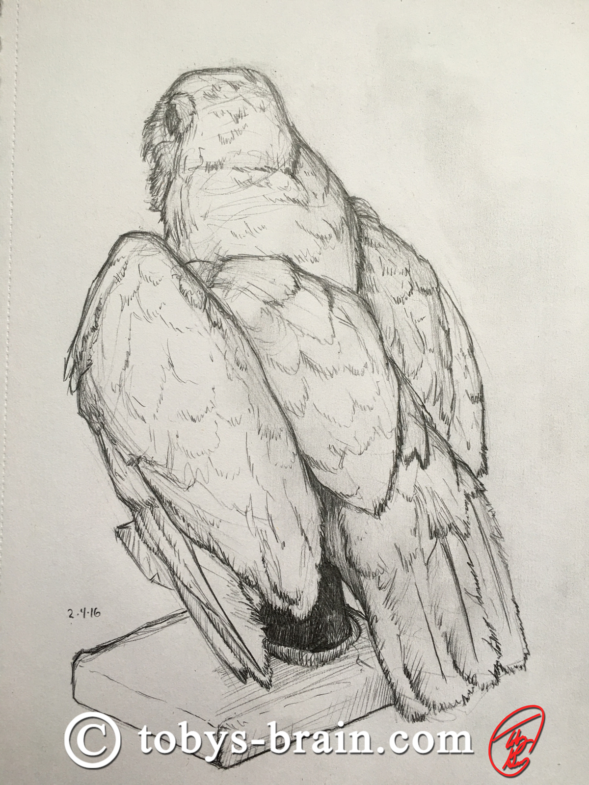 Sketch of a spotted owl from a taxidermied specimen.